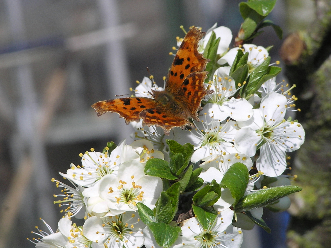 Comma butterfly on plum blossom