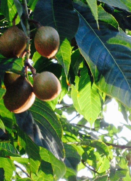 Conkers of the Indian Horse Chestnut