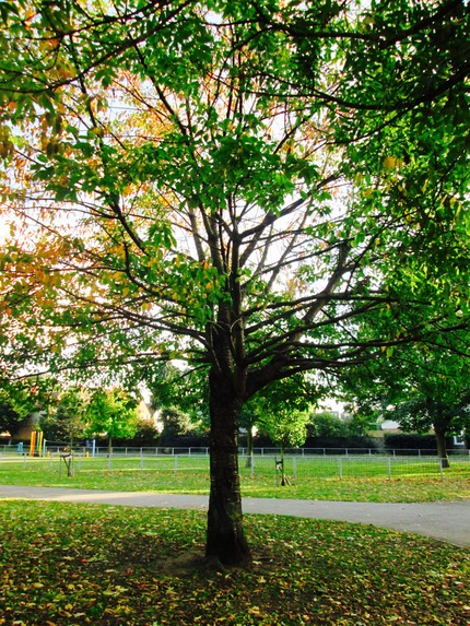 Indian Horse Chestnut in North Sheen Rec