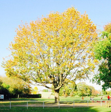 Sycamore tree in North Sheen Rec