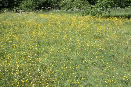 Meadow of Yellow Rattle, Rectory Park, Sutton Coldfield