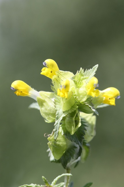 Yellow Rattle plant, Rectory Park