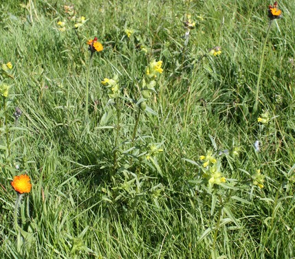 Rectory Park - Meadow of yellow rattle