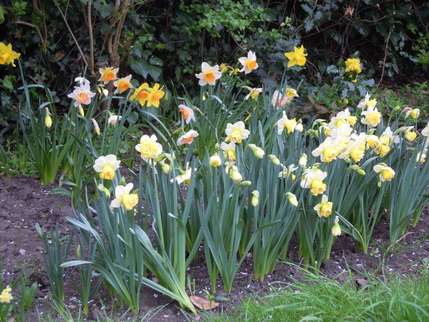 Narcissus Bulbs 2015