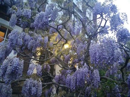 Wisteria at BH