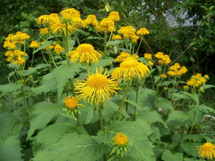 Elecampane at Otterhead July 2014