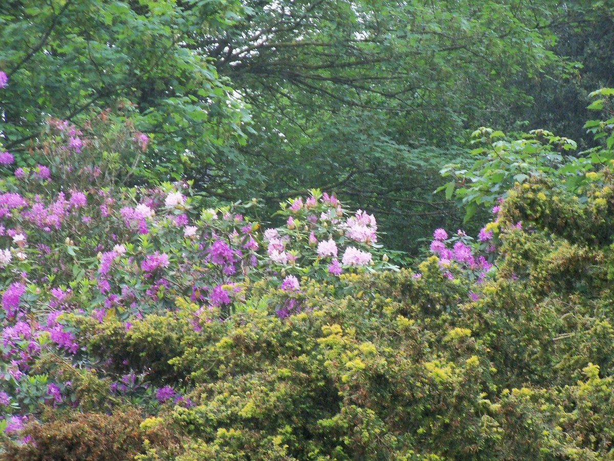 Rhododendron Gomer Waterer At Otterhead June 2017