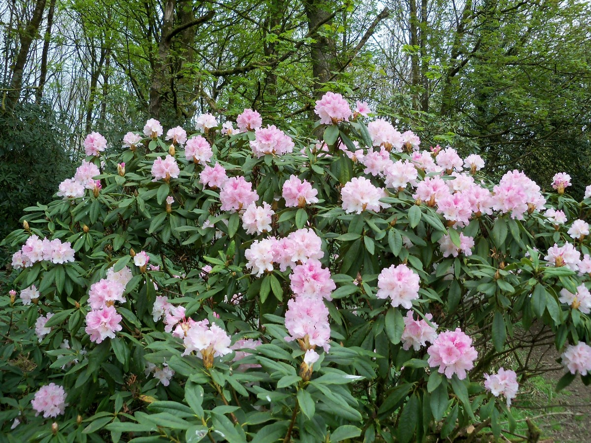 Rhododendron 'Rosamundi' at Otterhead April 2011