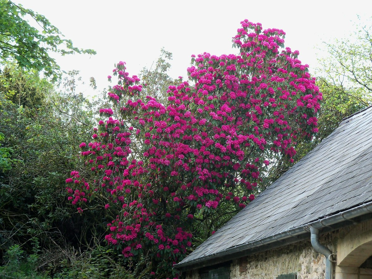 Rhododendron Hybrid 'Russellianum' ('Cornish Red') by the Otterhead Coach House April 2011