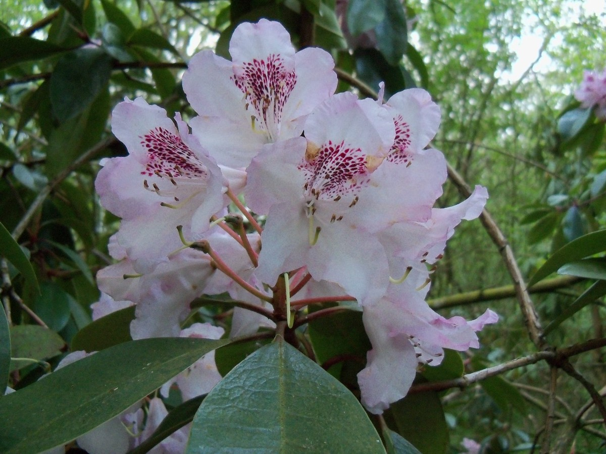 Rhododendron Hybrid 'Baroness Henry Schroeder' at Otterhead May 2011