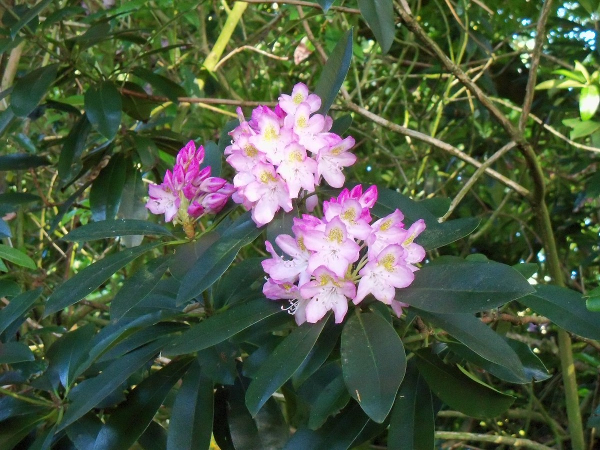 Rhododendron maximum at Otterhead 25 June 2011