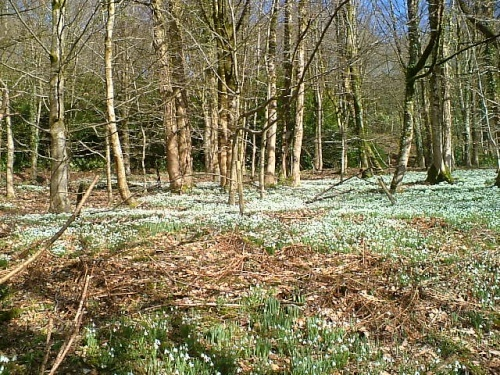 Snowdrops at Otterhead