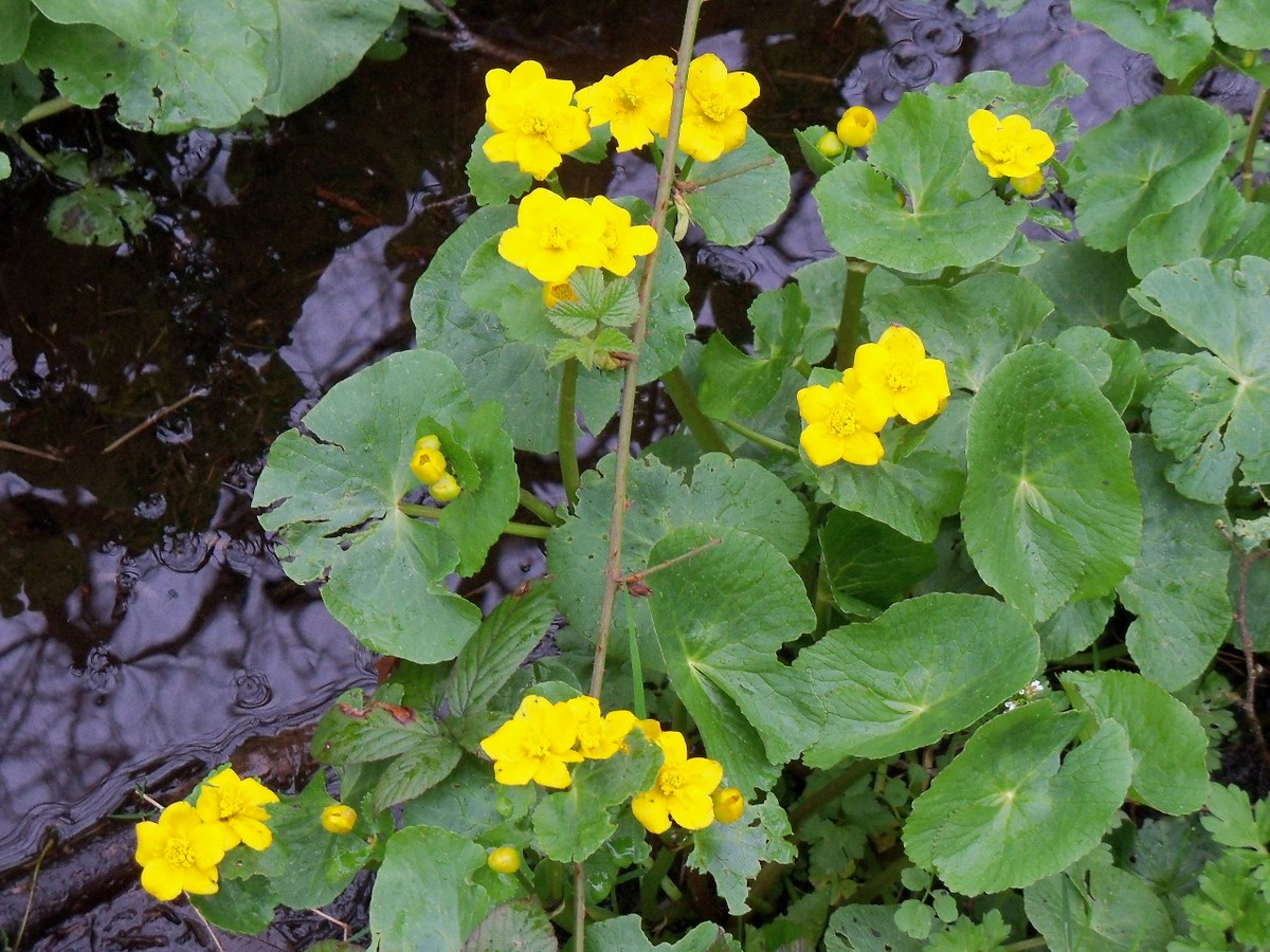 Marsh Marigolds by the Otterhead Bypass Leat 28 April 2012