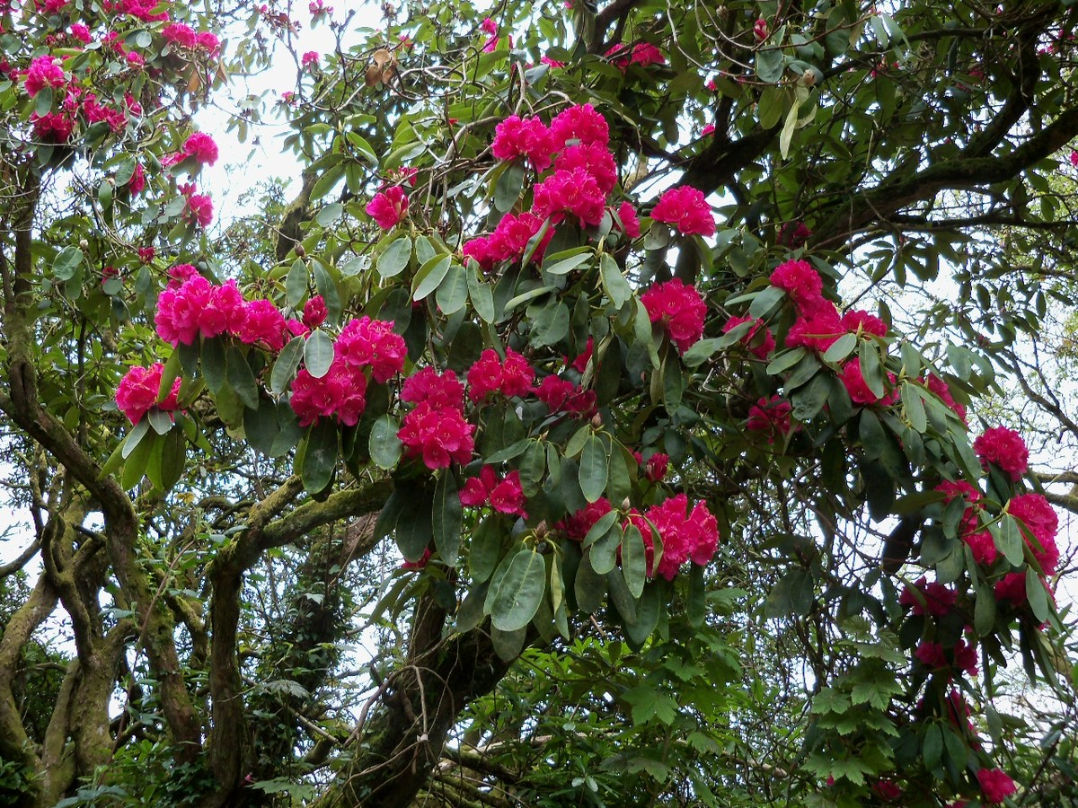 Rhododendron Hybrid 'Russellianum' ('Cornish Red') from the Otterhead Coach House public footpath 6 May 2012.