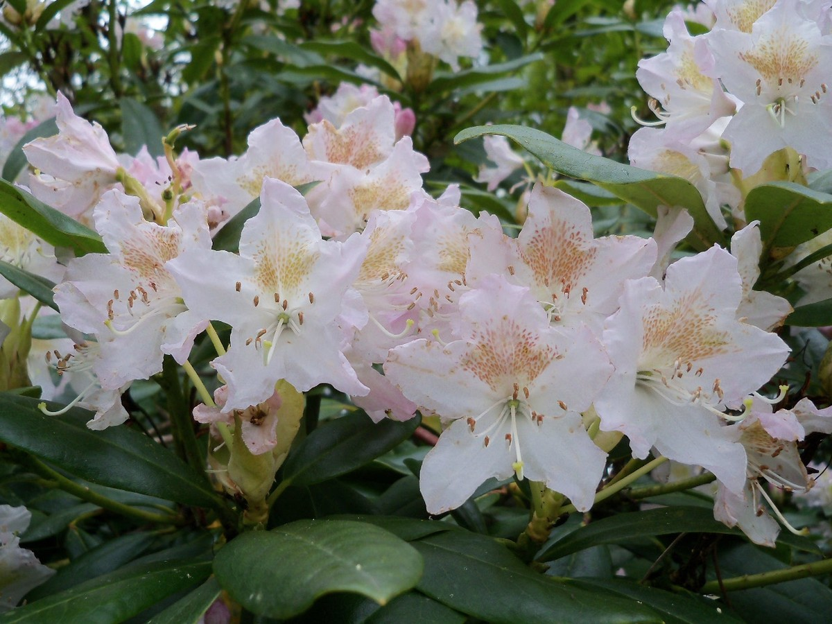 Rhododendron Hybrid 'Cunningham's White' at Otterhead 6 May 2012.