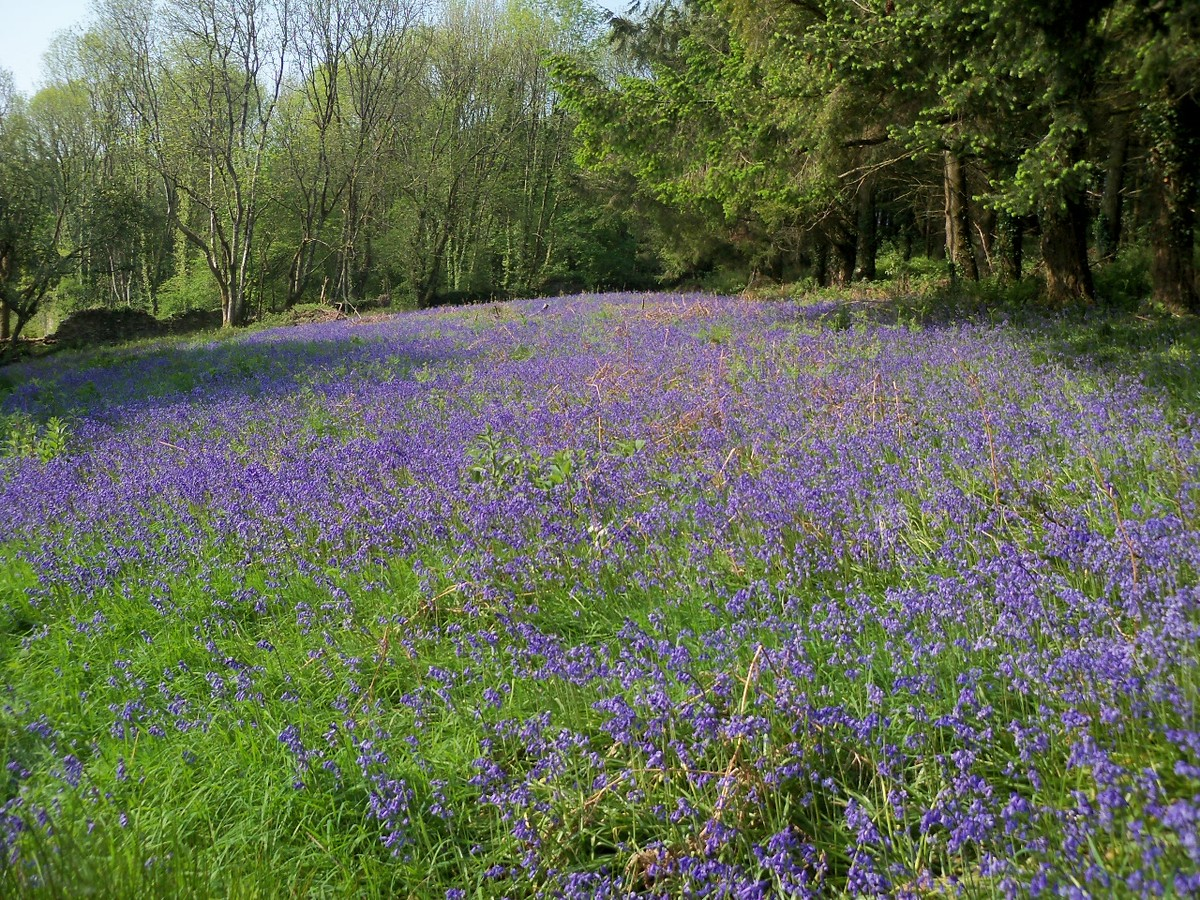 Bluebells at Otterhead 24 May 2012