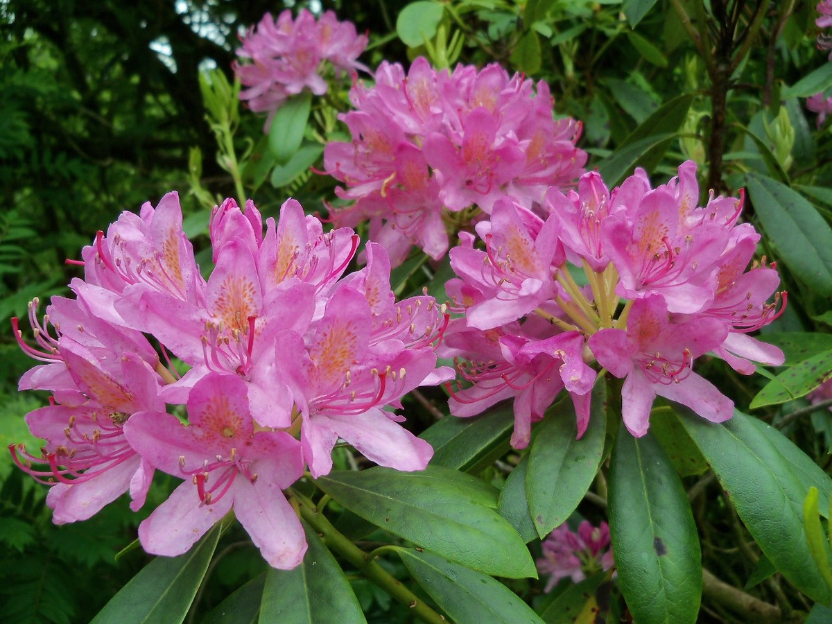 Unknown Rhododendron with large globular flower buds on former lawns at Otterhead 13 June 2012