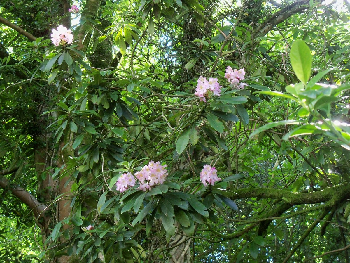 The last Rhododendron flowers of 2012; Rhododendron maximum at Otterhead on 13 July.