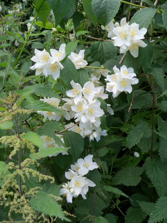 Philadelphus in the Otterhead Lost Gardens July 2012