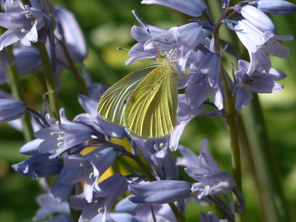 butterfly bluebell