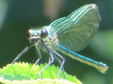 damiselle fly
