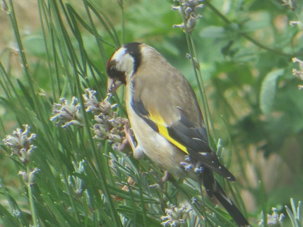 goldfinch lavender